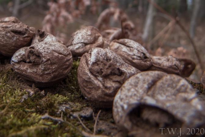 Puffball Mushroom b